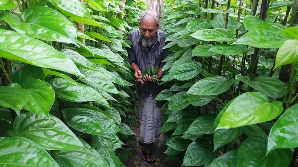 Betel Leaf Garden Maheshkhali