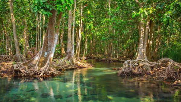 Belizean Coast mangroves