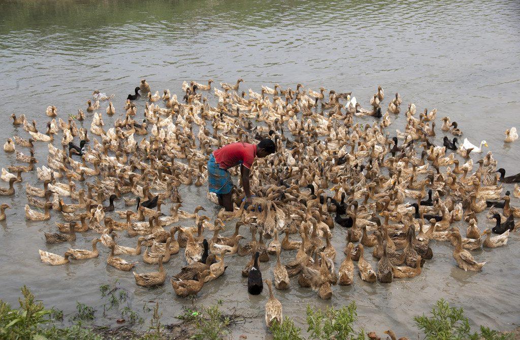 Duck on Nijhum Dwip