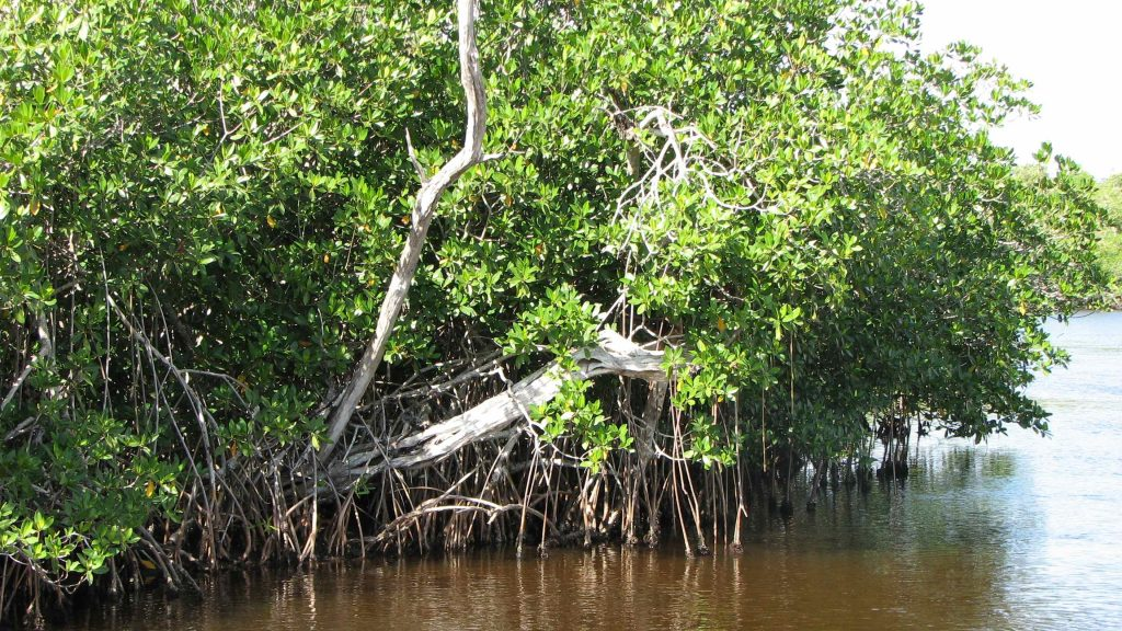 Greater Antilles mangroves