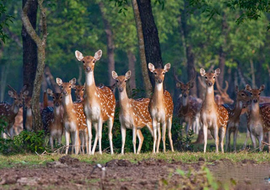 Manpura Island Deer