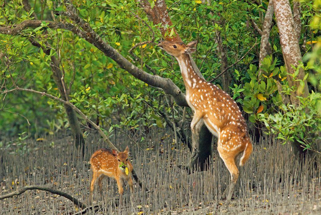Sundarban Deer in the forest