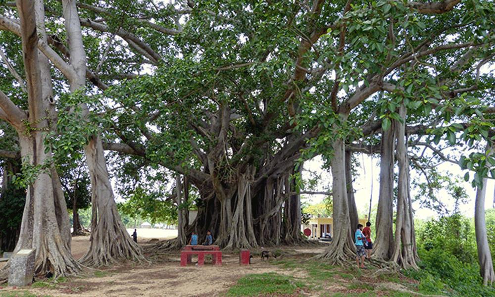old baniyan tree khagrachari