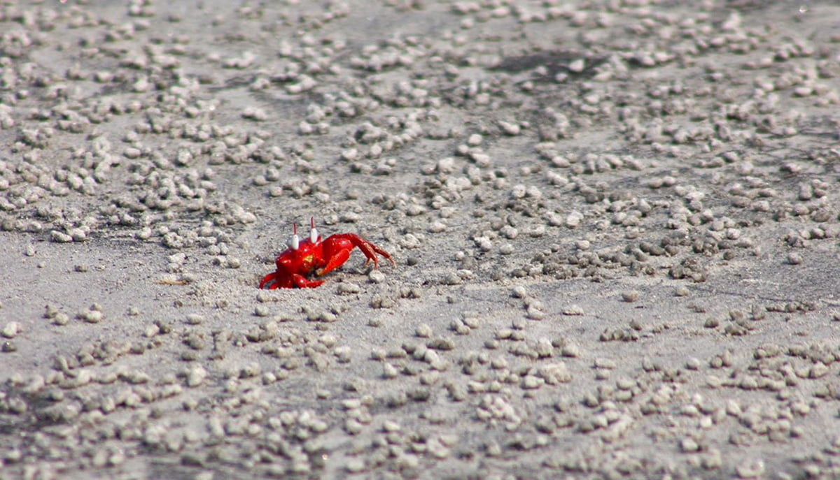 Red-Crabs-In-Kuakata
