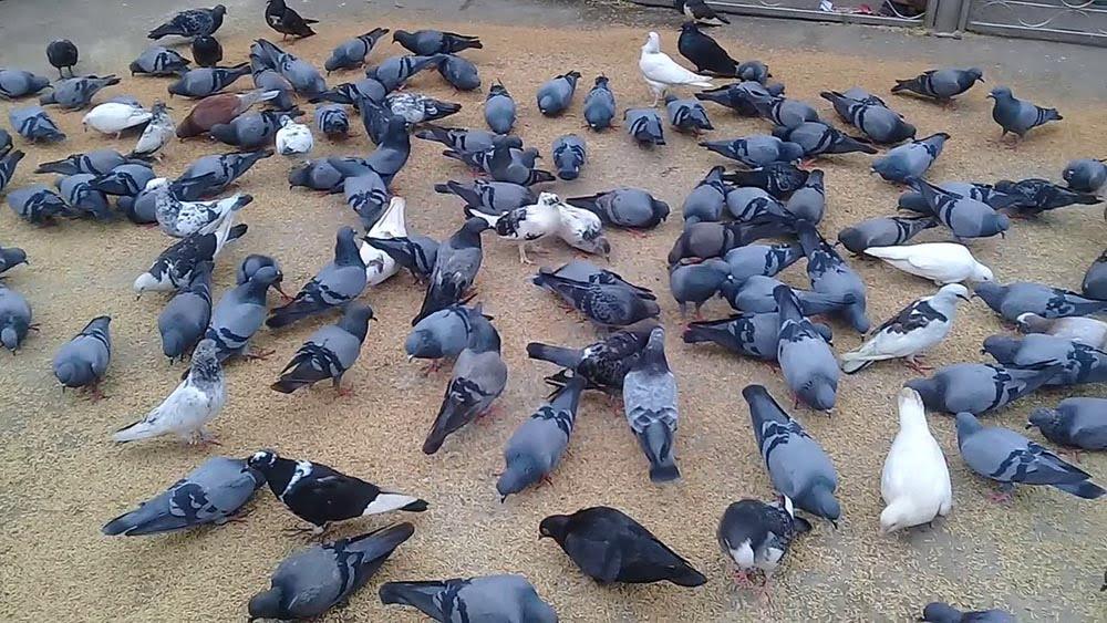 jalali pigeons Shah Jalal