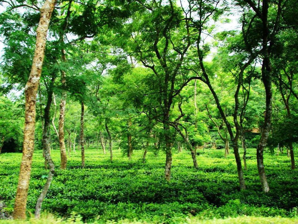 Malnicherra Tea Estate Sylhet