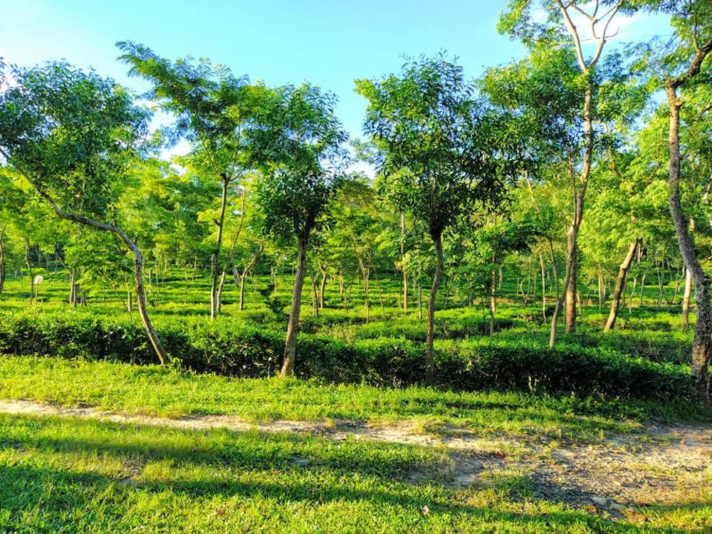 Malnicherra Tea Garden Sylhet