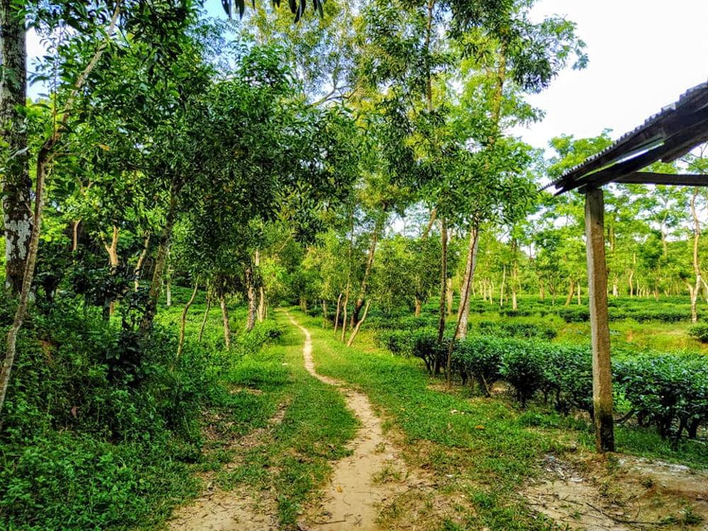 Malnicherra largest tea garden in subcontinent