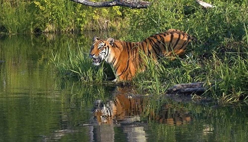 Royel Bengal Tigers Mangrove