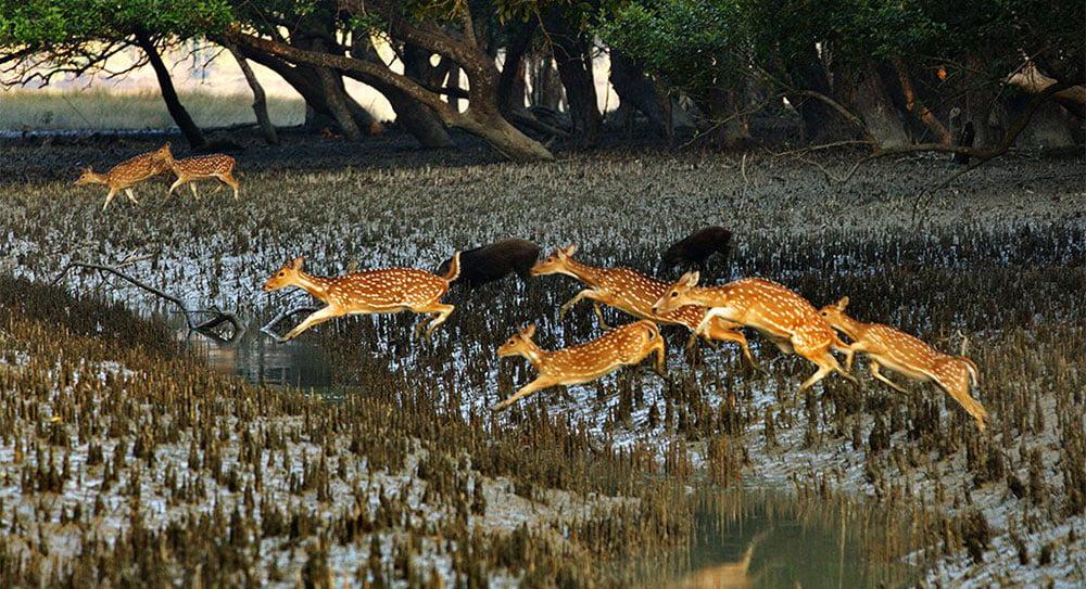 Sundarbans Mangrove Deer